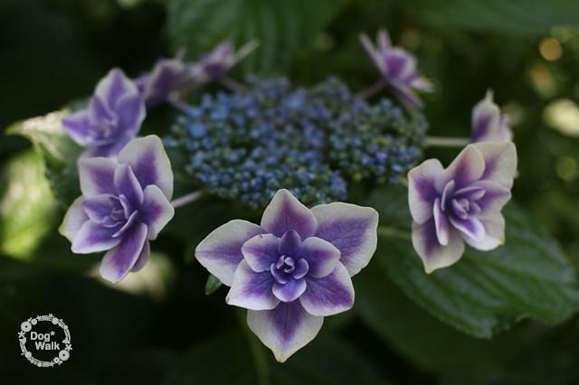 白と紫の紫陽花