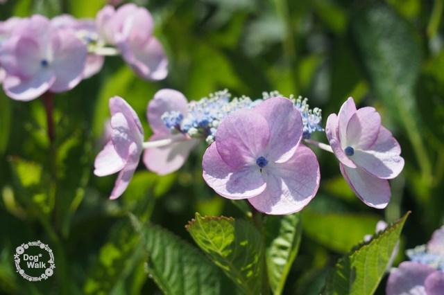薄紫の紫陽花