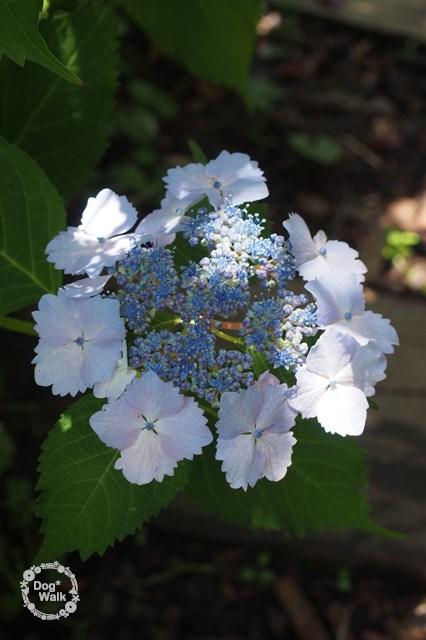 ギザギザのガクの紫陽花