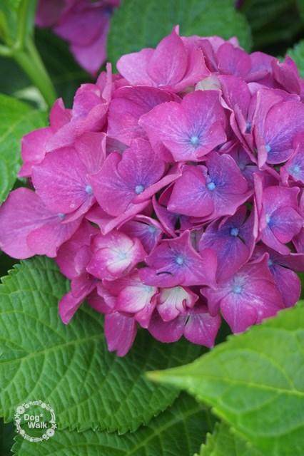 濃いピンクの紫陽花