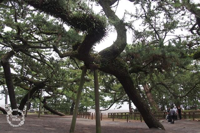 三保の松原の松