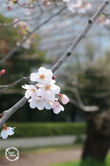 二十一世紀桜並木の桜