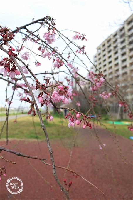 二十一世紀桜並木の枝垂桜