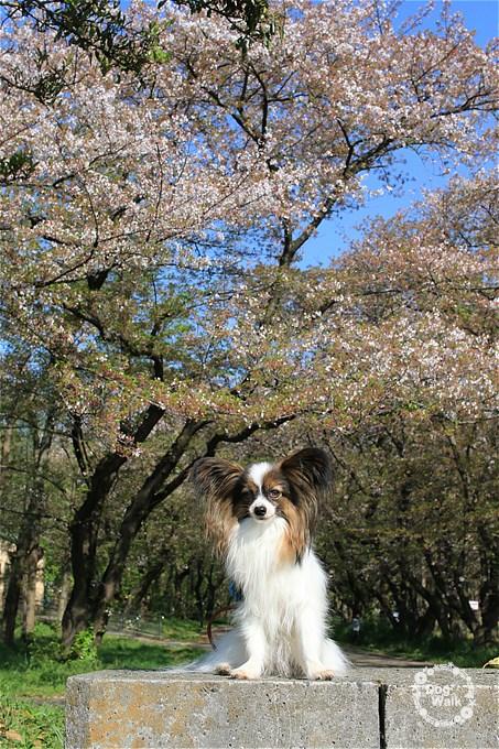 ノア@秋ヶ瀬公園の桜