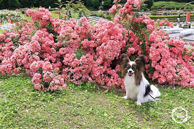 ノア@香りのばら園