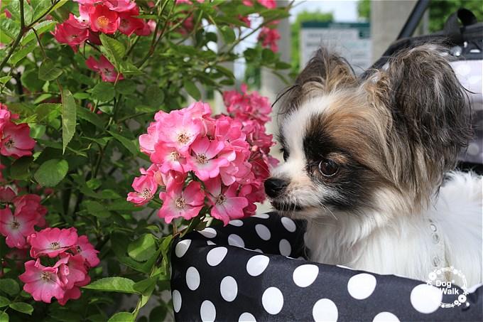 バラの香りを嗅ぐホッピー