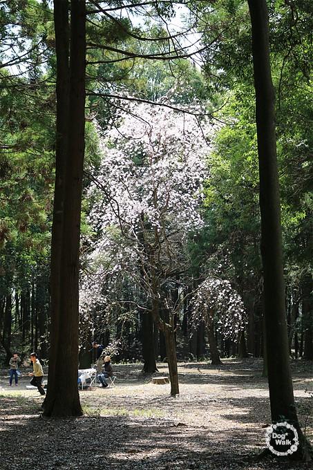 五本松公園の桜